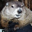 A photo of Punxsutawney Phil, furry and cute and silver-brown